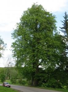 Pomniki Przyrody Olsztyn Lipa Koło Bartążka